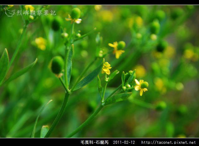 毛莨科-石龍芮_06.jpg