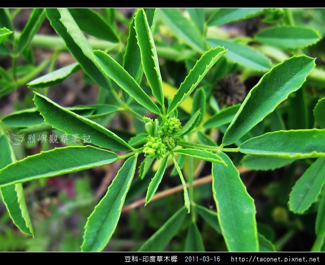 豆科-印度草木樨_09.jpg