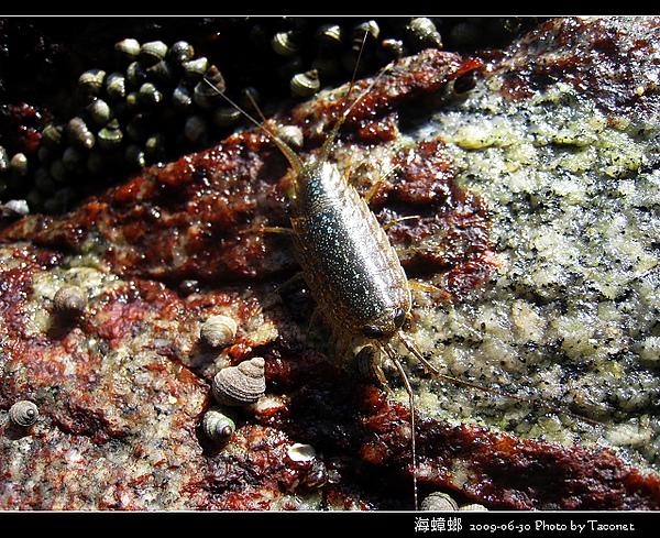 海蟑螂_06.jpg