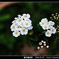繡球繡線菊_01.jpg