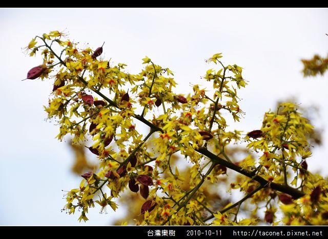 台灣欒樹_09.jpg