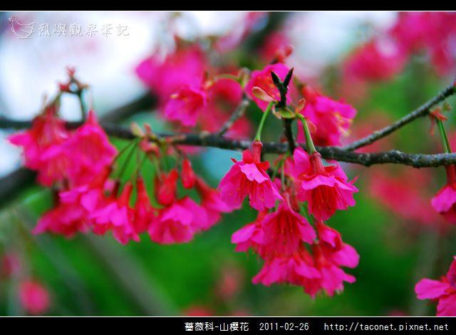薔薇科-山櫻花_05.jpg