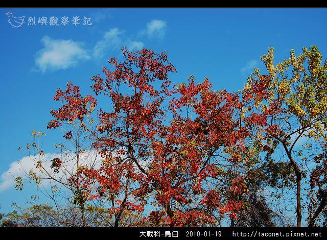 大戟科-烏臼_15.jpg
