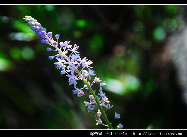 棉棗兒_07.jpg