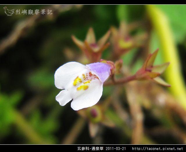 玄參科-通泉草_05.jpg