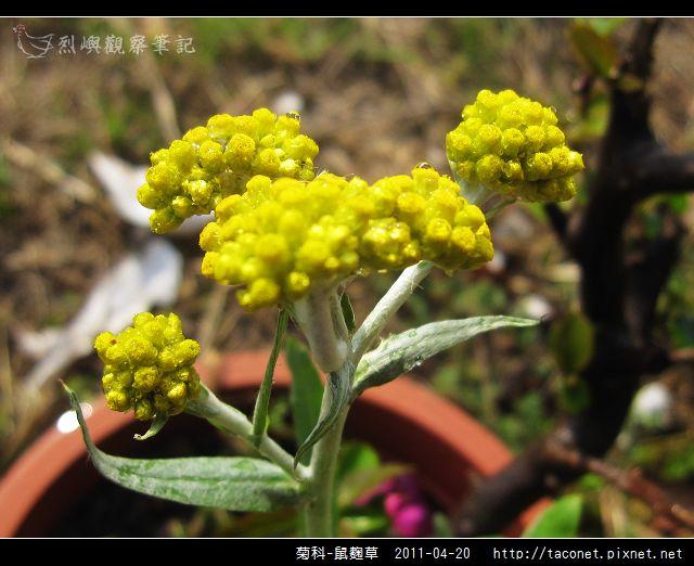 菊科-鼠麴草_03.jpg