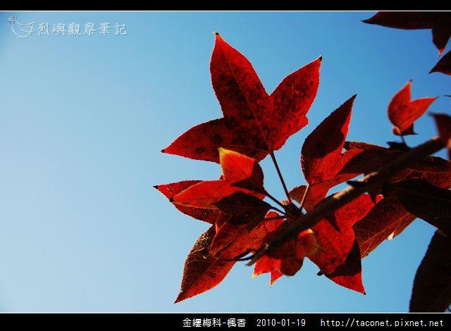 金縷梅科-楓香_20.jpg