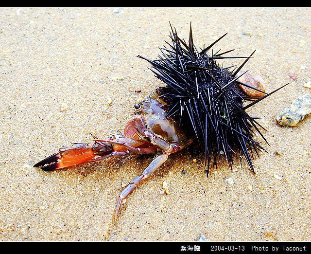 紫海膽_03.jpg