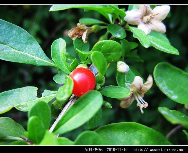 茄科-枸杞_09.jpg