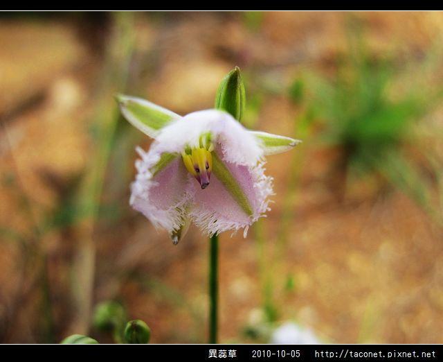 異蕊草_09.jpg