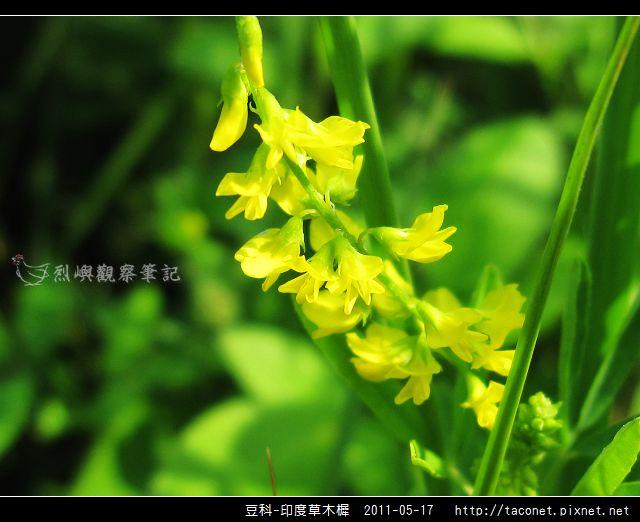 豆科-印度草木樨_12.jpg