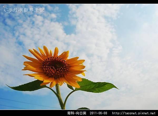 菊科-向日葵_19.jpg