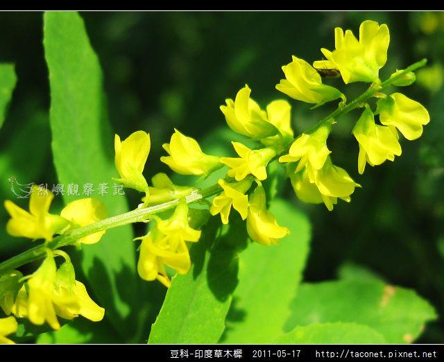 豆科-印度草木樨_11.jpg