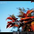 金縷梅科-楓香_25.jpg