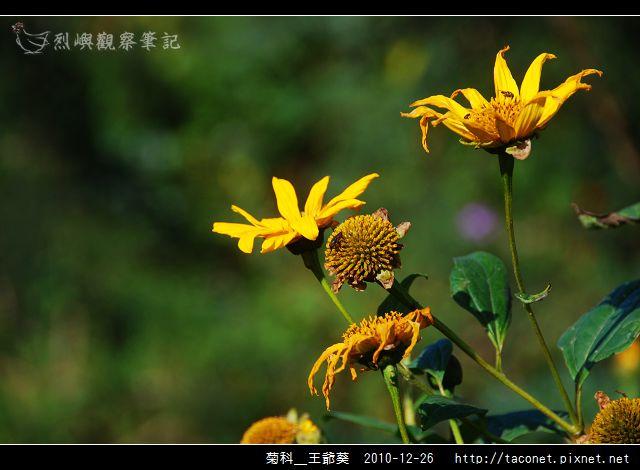 菊科-王爺葵_11.jpg