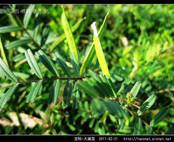 豆科-大巢菜_07.jpg