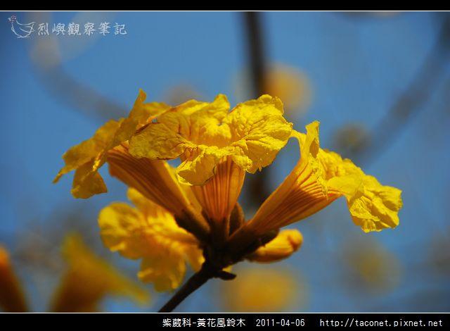紫葳科-黃花風鈴木_06.jpg