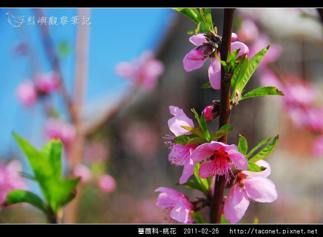 薔薇科-桃花_12.jpg