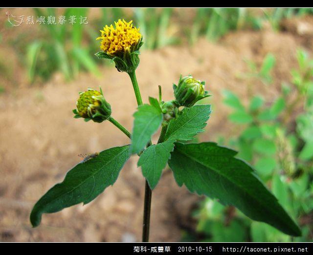 菊科-咸豐草_09.jpg