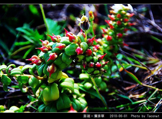 澎湖。濱排草_05.jpg