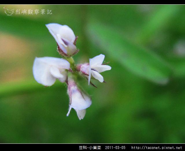 豆科-小巢菜_09.jpg