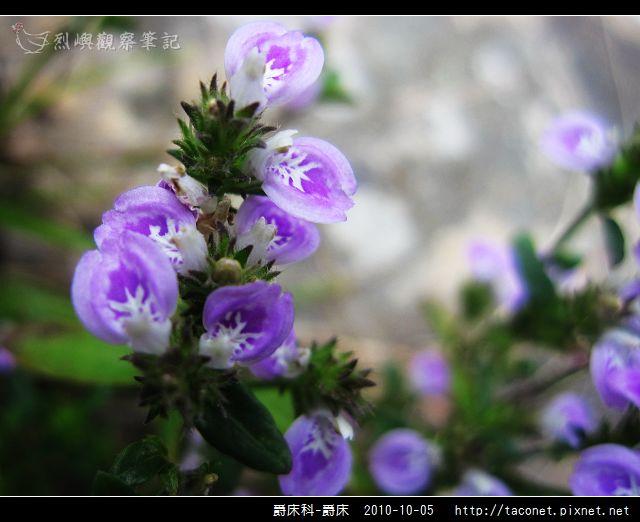 爵床科-爵床_09.jpg