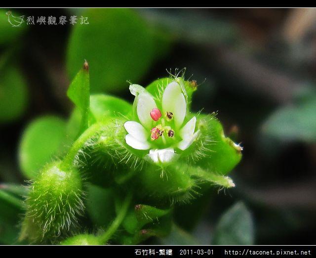石竹科-繁縷_12.jpg