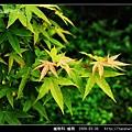 槭樹科-槭樹_04.jpg