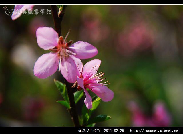 薔薇科-桃花_20.jpg