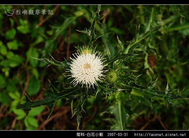 菊科-白花小薊_01.jpg
