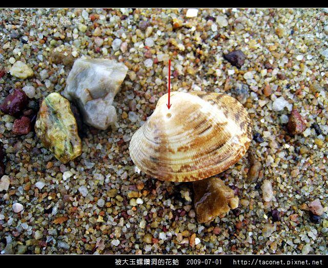 被大玉螺鑽洞的花蛤.jpg