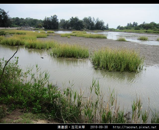 互花米草在清遠湖_11.jpg