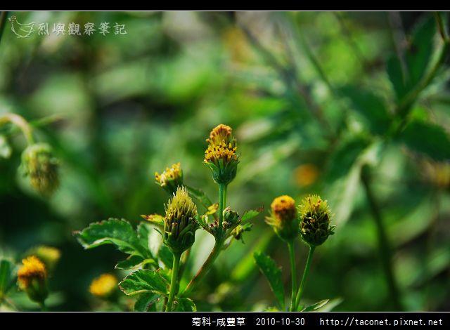 菊科-咸豐草_03.jpg