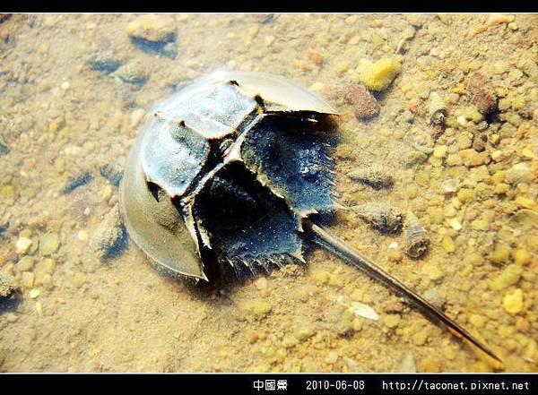 中國鱟_04.jpg