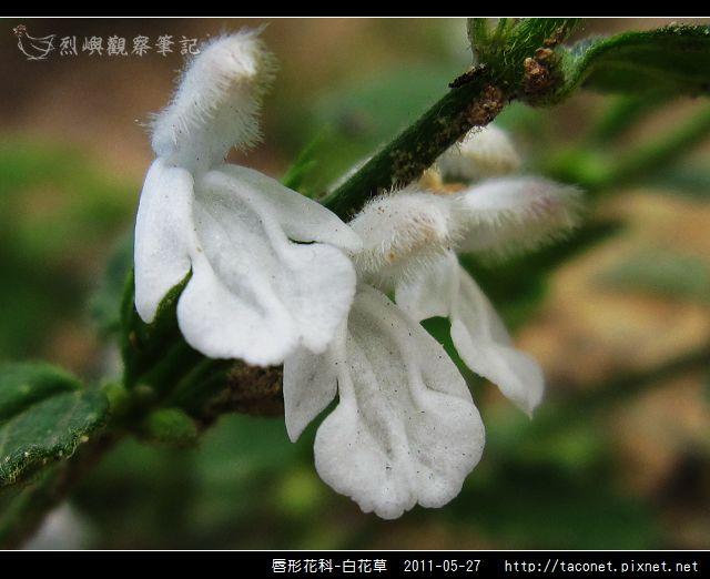 唇形花科-白花草_13.jpg