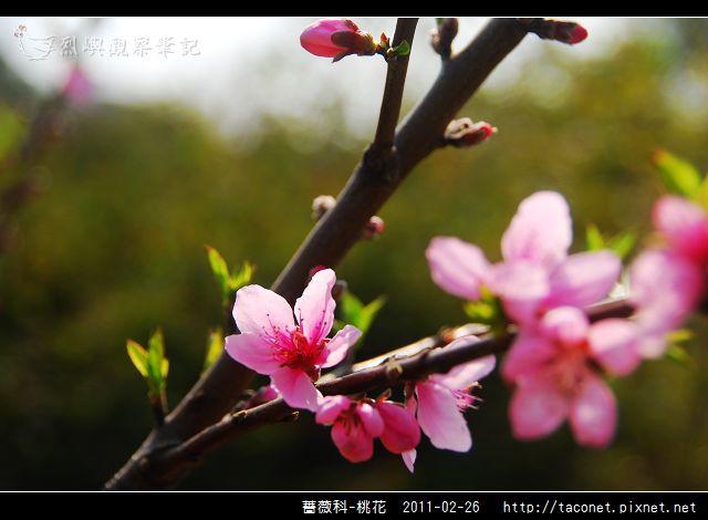 薔薇科-桃花_10.jpg