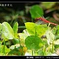 猩紅蜻蜓_02.jpg