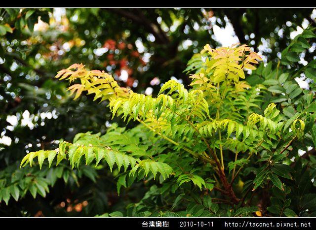 台灣欒樹_05.jpg