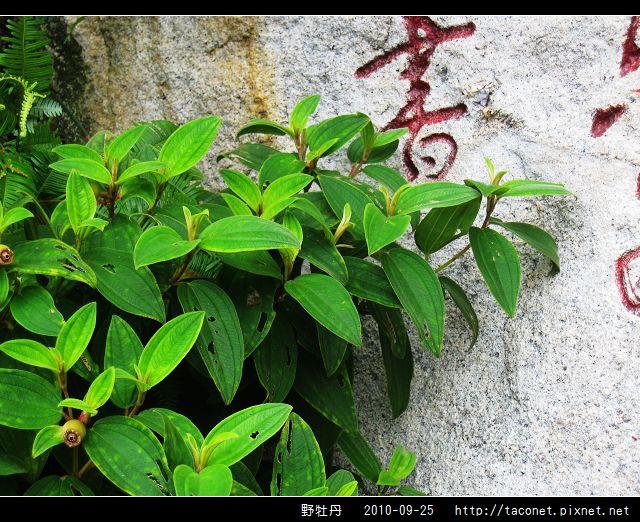 野牡丹_08.jpg