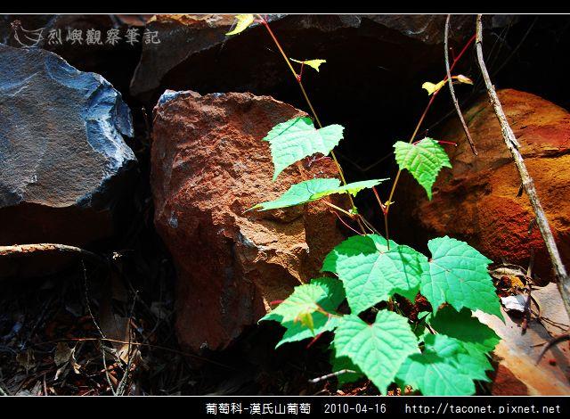 葡萄科-漢氏山葡萄_07.jpg