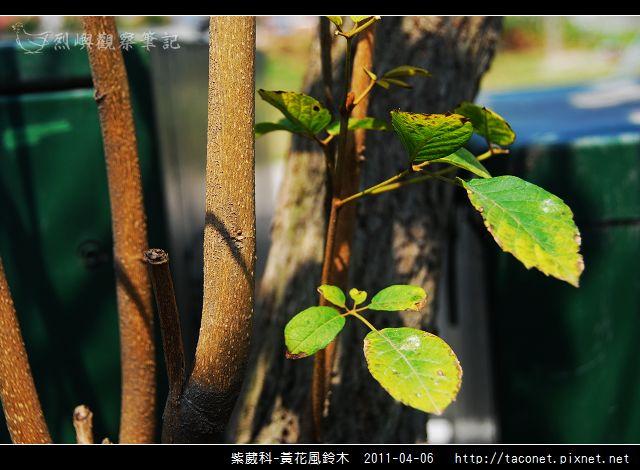 紫葳科-黃花風鈴木_08.jpg