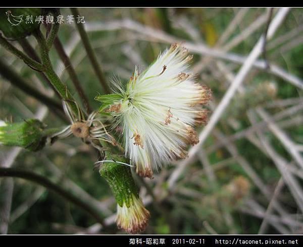 菊科-昭和草_08.jpg