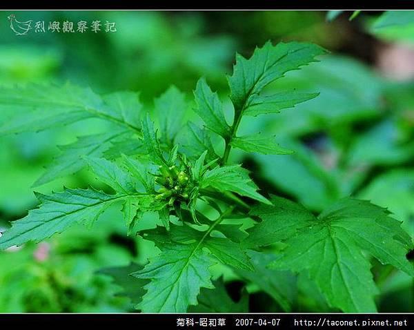 菊科-昭和草_10.jpg