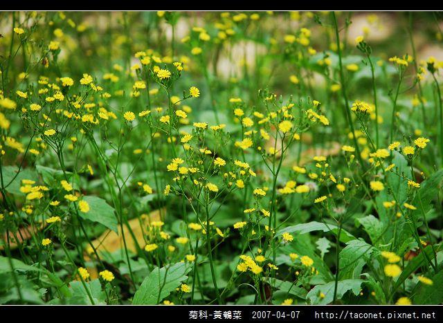 菊科-黃鵪菜_05.jpg