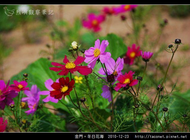 金門。冬日花海_08.jpg
