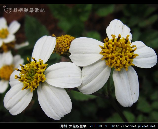 菊科-大花咸豐草_16.jpg