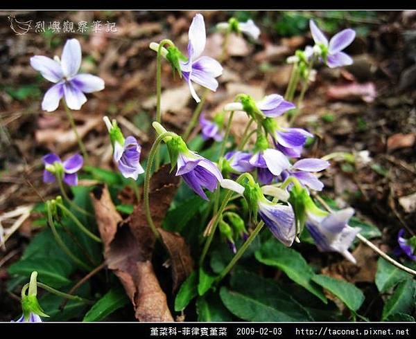 堇菜科-菲律賓堇菜_14.jpg