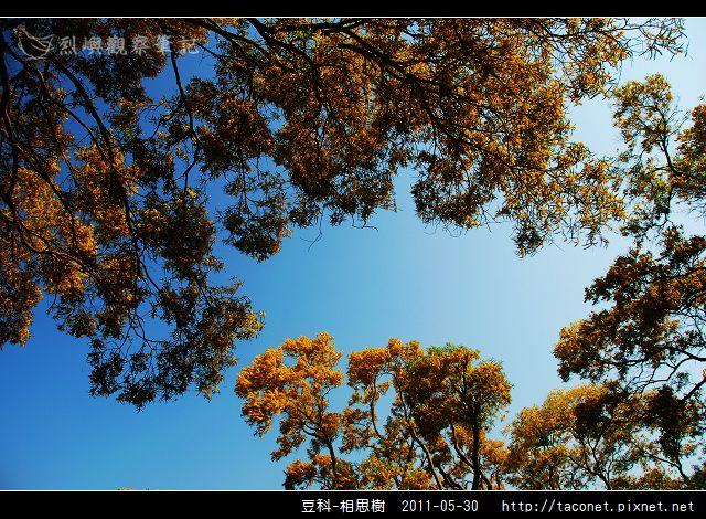 豆科-相思樹_17.jpg