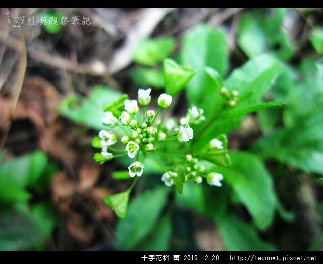 十字花科-薺_05.jpg