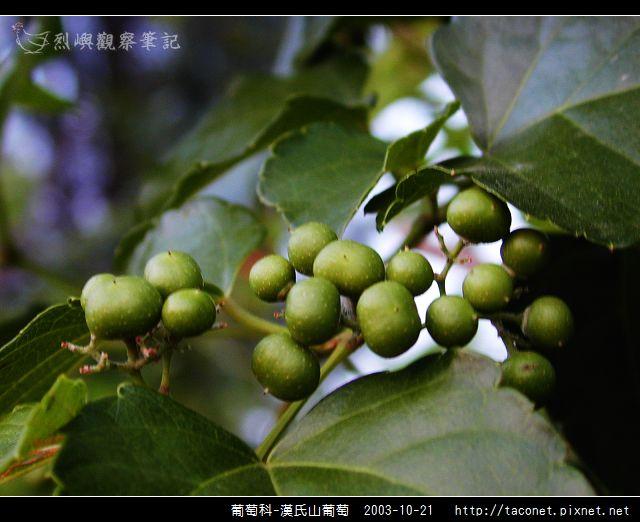 葡萄科-漢氏山葡萄_08.jpg